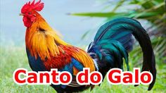 Canto do Galo