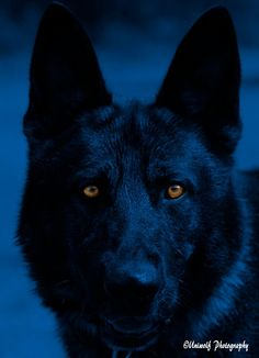 This is one of the most awesomely amazing K9 shots ever, Sgt. Ace! Stunningly beautiful, it just captures you... just like a K9 captures his 'bad guy'!