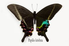 Tropical Swallowtail Butterfly, Papilio Krishna, photography by:  Darrell Gulin