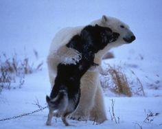 Polar bear and huskies