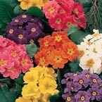 Hardy English Primrose: Great for shade gardens