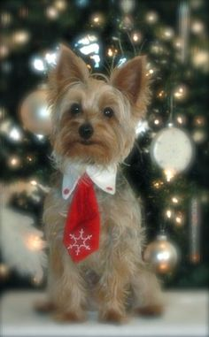 A Gentleman Yorkie on Christmas - Cooper's Christmas Teddy Bear Puppies, Cute Puppies, Cute Dogs, Poodle Puppies, Yorkies, Yorkie Puppy, Christmas Animals, Christmas Cats, Christmas Puppy