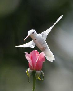 Albino Ruby-Throated Hummingbird pink rose by jodi All Birds, Little Birds, Love Birds, Pretty Birds, Beautiful Birds, Animals Beautiful, Exotic Birds, Colorful Birds, Ruby Throated Hummingbird