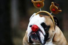 Then one foggy Christmas Eve, Santa came to say, bulldog with your nose so bright, won't you guide my sleigh tonight?