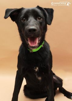 ADOPTED - Ripley - URGENT - City of Corsicana Animal Shelter, Corsicana, Texas - ADOPT OR FOSTER - 1 year old Male Lab Retriever Mix - Ripley is a dash of fun mixed with sprinkling of shyness. This handsome guy was found as a stray in Corsicana. Ripley is learning to walk on a leash, is good with other dogs, and is good with children. He is an all around gem of a dog! Ripley will do great in many different family types and would LOVE to be your new best friend!
