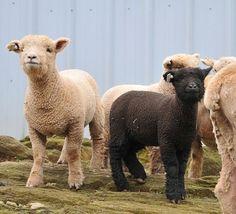 #tractorshow #sheepofinstagram #littlesheep #farming #wool #sheeppic #sheepgram #shepherd #farmphotographydaily #sheeplove #shepherdsofinstagram #farmlifebestlife #farmliving #cattle #ilovesheep