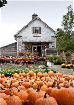 orange pumpkins country