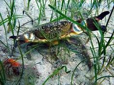Výsledek obrázku pro krab písečný
