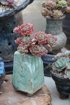 식물나라 사람들-다육식물 전문 카페 :: 네이버 카페Echeveria 'Tramuntana