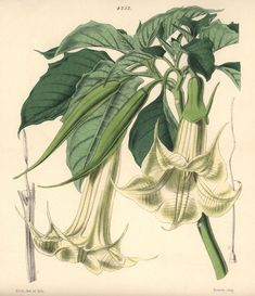Hand-coloured botanical illustration drawn and lithographed by Walter Hood Fitch for Sir William Botanical Illustration, Botanical Prints, Fine Art Prints, Framed Prints, Canvas Prints, Trumpet, Hand Coloring, Horns, Poster Size Prints