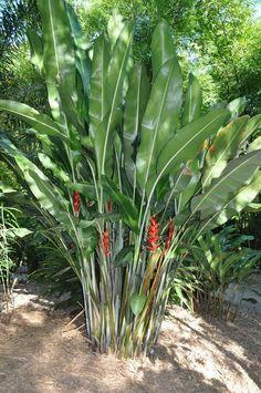 Heliconia bihai x caribaea 'Kawauchi'