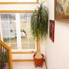 Plants I want  Ponytail Palm