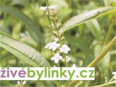 Verbena citrónová nebo-li Aloisie je rostlina s ohromující citrónovou vůní intenzivnější než samotný citron. Verbena, Herbs, Plants, Shopping, Flowers, Aromatherapy, Herb, Plant, Planets