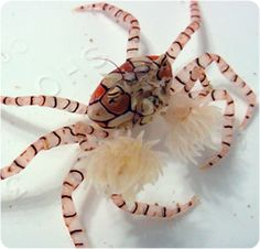 Pom Pom Crab. Used to have some of these in my nano tank (now decommissioned), they were such fun to watch.