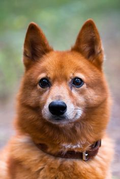 The Finnish Spitz was developed for hunting rather than sled-dogging. Like most Spitz-type breeds, the Finnish Spitz is generally healthy and hardy.