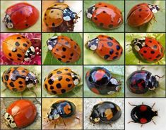 Natural Pest Control With Ladybugs--Beneficial garden ladybugs for controlling pests in your garden are the most popular and widely used beneficial insects for commercial and home use. Beautiful Bugs, Beautiful Butterflies, Beautiful Pictures, Beneficial Insects, Bugs And Insects, Beautiful Creatures, Cute Animals, Baby Animals, Birds