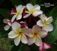 Thai Jade Fantastic Clusters Of Delicate Cream Colored Blooms 3 With A Hint Of Pink Enhanced By A Str Flower Pot Design Plumeria Flowers Sympathy Flowers