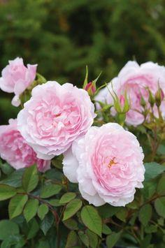 Lady Salisbury - David Austin English Rose