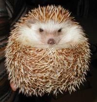 The International Hedgehog Association (for when I get a pet hedgehog)