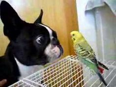 Boston Terrier Trying to Lick a Parakeet (Video) - Watch the Video here : http://www.bterrier.com/boston-terrier-trying-to-lick-a-parakeet-video/