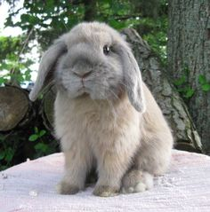 holland lop blue tort - Google Search