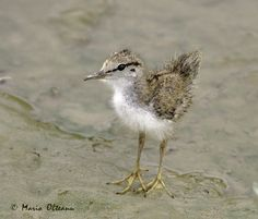 baby spotted sand piper