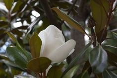 Magnolia grandiflora 'Edith Bogue' at Chanticleer Garden PA