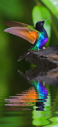 Hummingbird reflections in the water.... much lower to the earth than usually photographed!