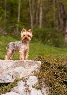 Yorkshire Terrier – Energetic and Affectionate Cute Puppies, Cute Dogs, Dogs And Puppies, Corgi Puppies, Yorshire Terrier, Bull Terriers, Yorkie Haircuts, Yorkshire Terrier Puppies, Yorkie Puppy