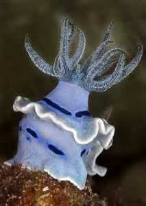 Philippine Nudibranch