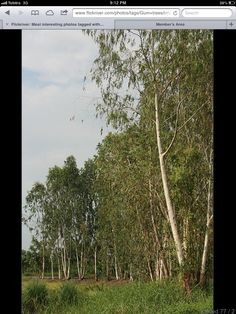 Eucalyptus, River Red Gum, Scribbly Bark