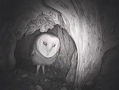 Owl nest webcam