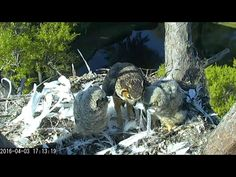 Savannah Owls: If you look carefully, you'll see feathers sticking out of both owlet's' mouths.