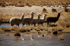 Trip to Peru Sweepstakes - Bronto Webforms Peru Travel, 40th Anniversary, Camel, Design Inspiration, Clothes For Women, Nature, Animals, Outerwear Women, Naturaleza