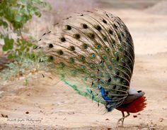 Dancing Beauty ......Indian Peafowl