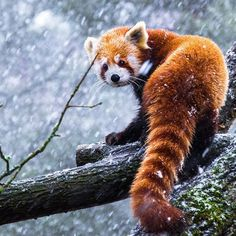 Photo about Red panda on a branch looking over it's shoulder in a snowstorm. Image of tail, climbing, panda - 79678635 Like Animals, Cute Baby Animals, Animals And Pets, Baby Pandas, Pinguin Tattoo, Red Panda Cute, Tier Fotos, Exotic Pets, Exotic Animals