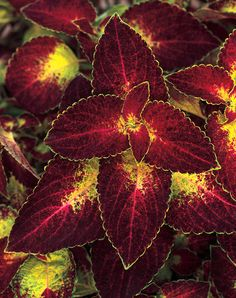 Dipt in Wine Coleus Smooth, shiny, rounded leaves are crimson with a lime-green edge Adaptable As Houseplant Foliage Interest Heat Tolerant Deadheading Not Necessary Garden Height:  36 Inches Spacing:  12 - 14 Inches Foliage Shade:  Multicolored Habit:  Upright Container Role:  Thriller Light Requirement:  Sun or Shade Bloom Time:  Grown for Foliage