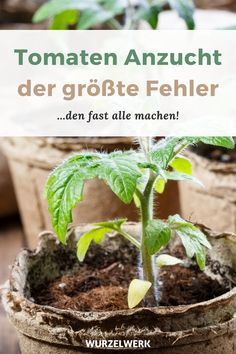 Gemüse anbauen Prefer super vital tomato plants: Tomato cultivation in the house -You prefer your to Household Cleaning Tips, Deep Cleaning Tips, House Cleaning Tips, Cleaning Hacks, Garden Types, Tomato Cultivation, Le Baobab, Palmiers, Growing Tomatoes