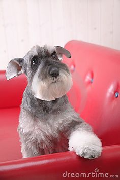 Schnauzer dog on red coach by Alessandro Treguer, via Dreamstime