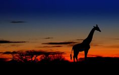 A beautiful photograph of a giraffe with beautiful sunset. The Giraffe is unknown outside of Africa and early written records described the giraffe as . Luxor, Tag Safari, Angola Africa, South Africa Wildlife, Foto Nature, Take Me Away, Giraffe Silhouette, Africa Destinations, Out Of Africa