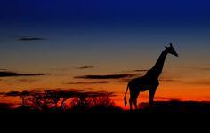 south africa   http://1.bp.blogspot.com/-Xvk5LpAbsc8/TbcldP4DBbI/AAAAAAAAAAM/vp71XXZZrBs/s760/giraffe.jpg
