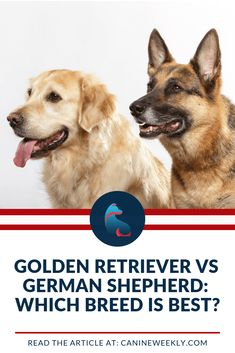 The Golden Retriever vs German Shepherd. Both are amazing large breed dogs that can make excellent family companions. We compare each here! Top Dog Breeds, Large Dog Breeds, Best Dog Breeds, Best Dogs For Families, Family Dogs, Most Popular Dog Breeds, Purebred Dogs, Therapy Dogs, Girl And Dog