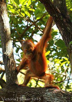 Baby Orang-utan by Victoria Hillman, via Flickr