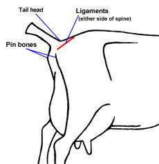 #goatvet know that snatch birthing kids ie removal of kids at birth, is the best way to prevent CAE spreading - and location of ligaments is essential in knowing when does are about to kid.