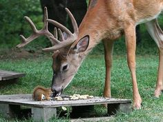 A squirrel and deer sharing food provided for them