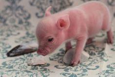Someone buy me a teacup pig
