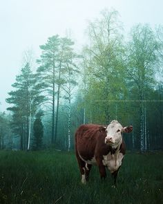 cow~my grandparents had cows just like this on their farm:)