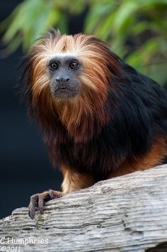 Colchester Zoo: Golden Headed Lion Tamarin | Flickr - Photo Sharing! Golden Lion Tamarin, Golden Lions, Colchester Zoo, Bristol Zoo, Monkey Business, Primates, Squirrel, Animals, Animales