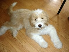 pyredoodle - Great Pyrenees / Poodle