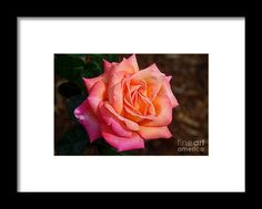 rose, orange, flower, bloom, blossom, nature, garden, michiale, schneider, photography